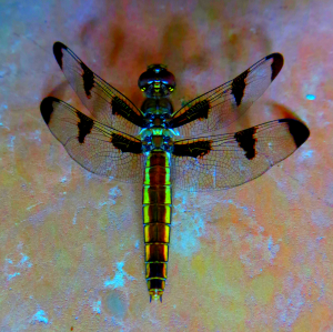 Dragonfly_IMG_0895_d_1__thumb2