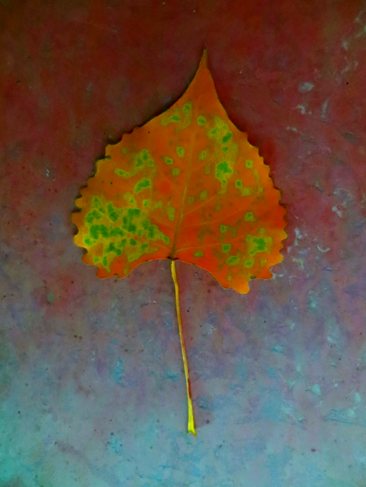 Rusting Cottonwood Leaf