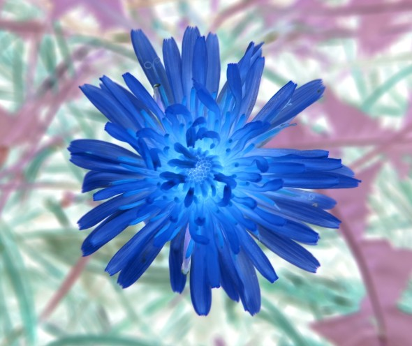 Dandelion_in_Blue_0656_f_1_thumb