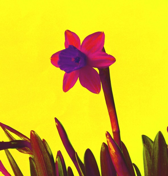 Daffodil_Pink_with_Orange_DSC00129_a_1_vert