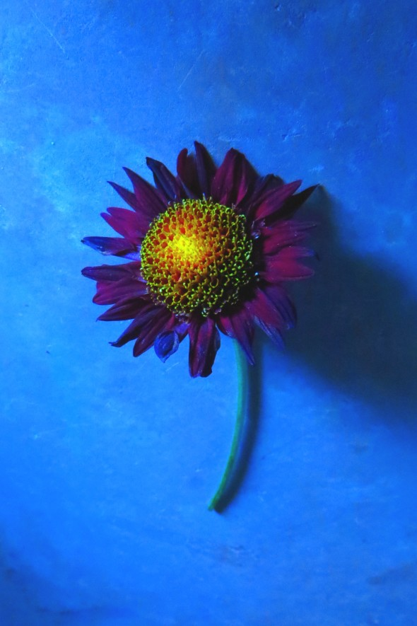 Sunflower_With_Blue_Background_3415_a_3-2_a