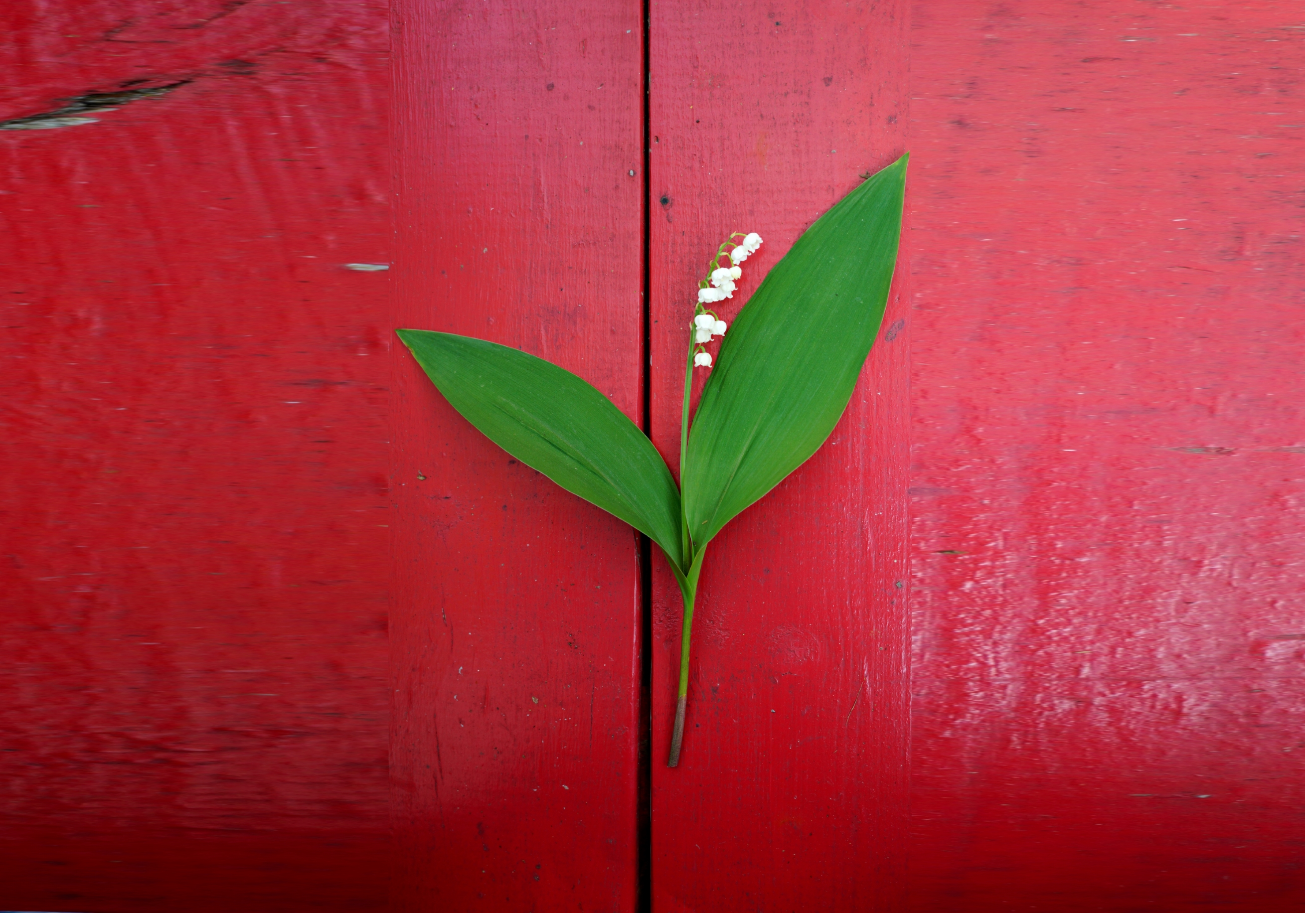 Lily of the Valley on Red