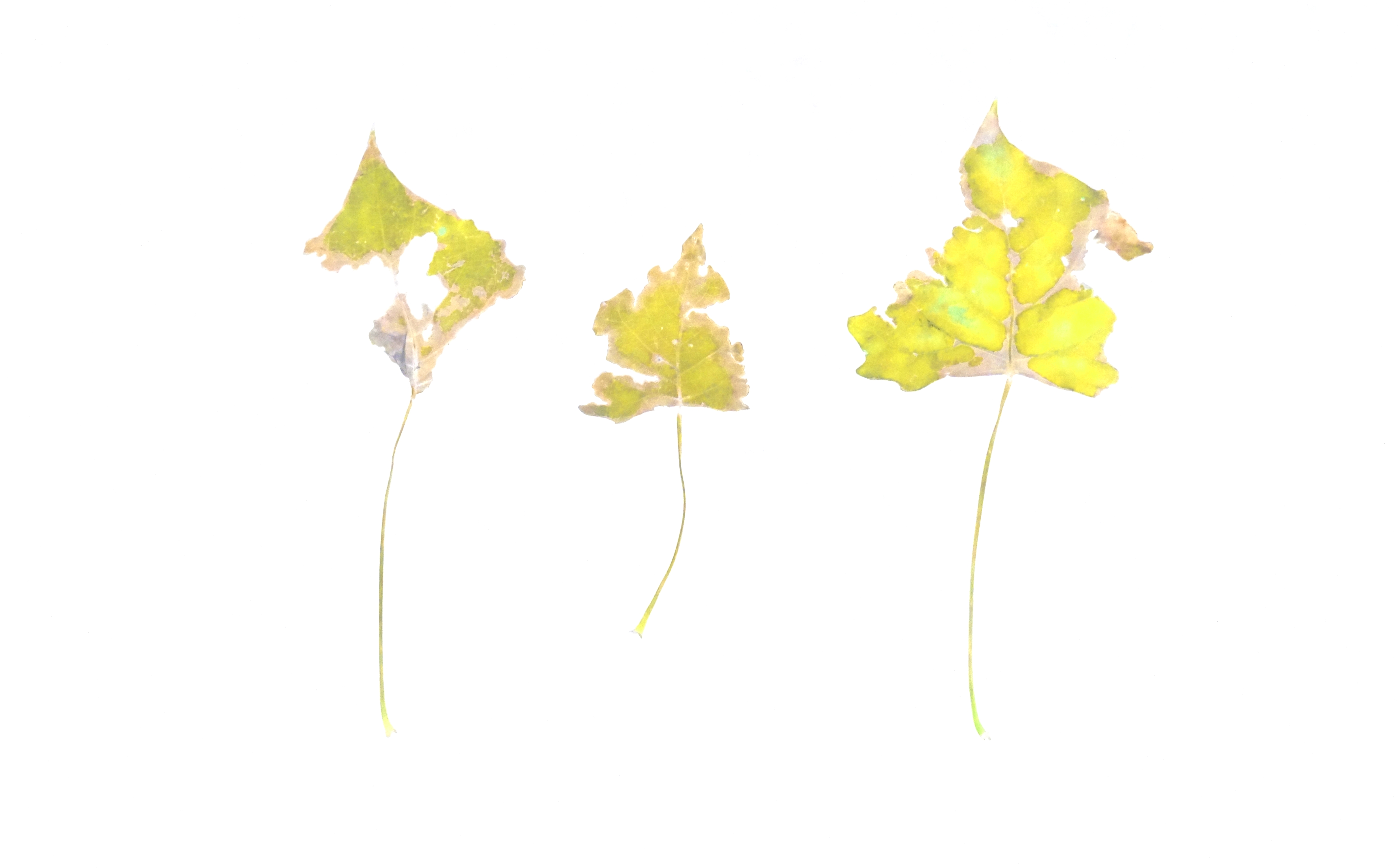 Somebody had Leaf for Lunch_Trio - Yellow