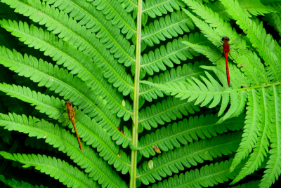 Two_Dragonflies_On_Ferns_IMG_0972_a_3__thumb
