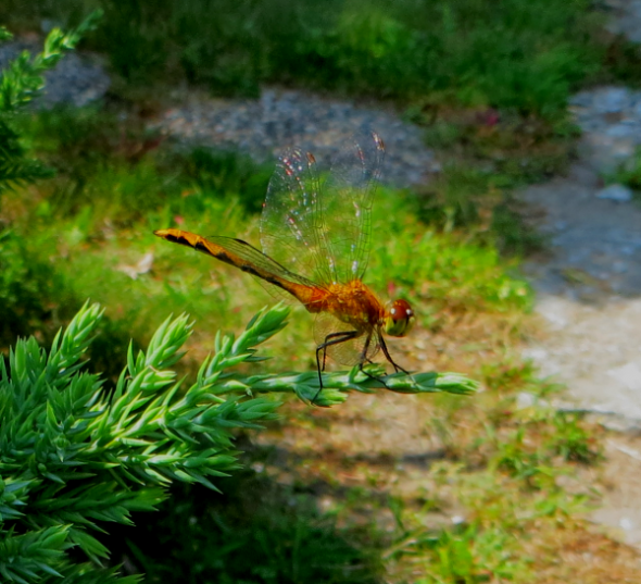 Dragonfly_Ready_for_Takeoff_1129_a_1_thumb
