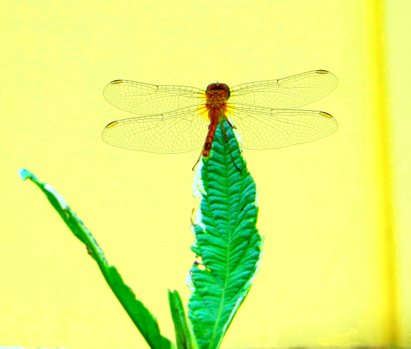 WINGS_a_Dragonfly_1208_c_2_b