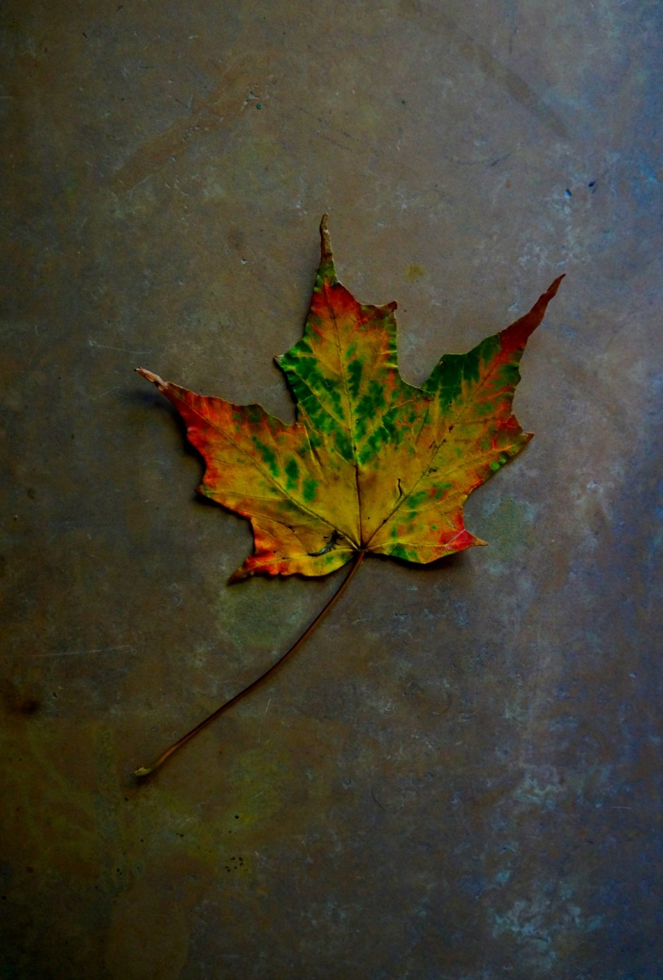 MapleLeaf_withRainbowOfColors_DSC03332_a_1_smlr